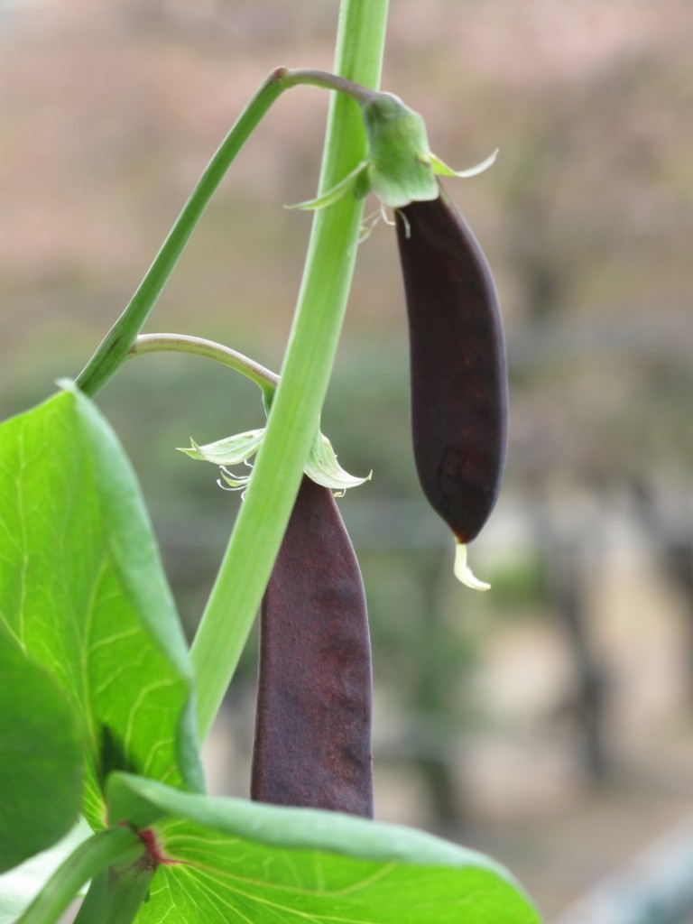 Tutankhamen's Peas